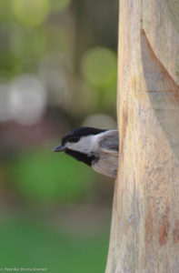 chickadee emerging