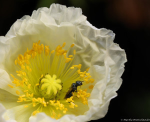 i is for insect in icelandic poppy