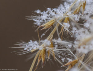 snow on miscanthus