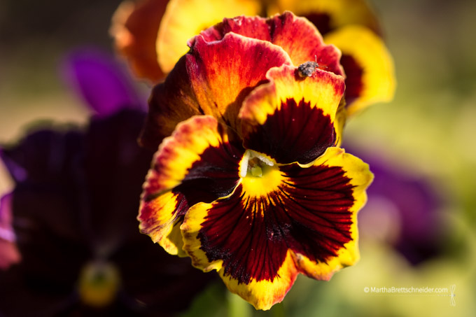 pansy as sun goes down