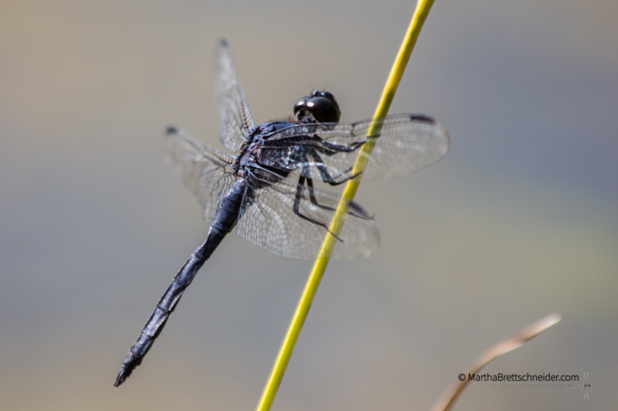 dragonfly black Meadowlark