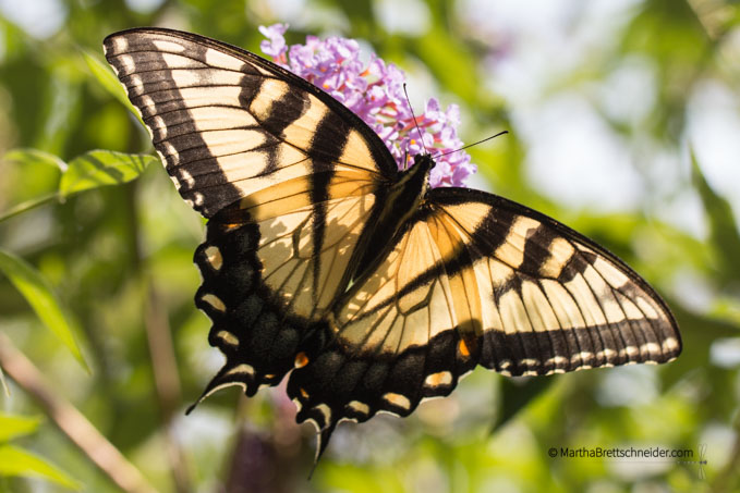 swallowtail cropped