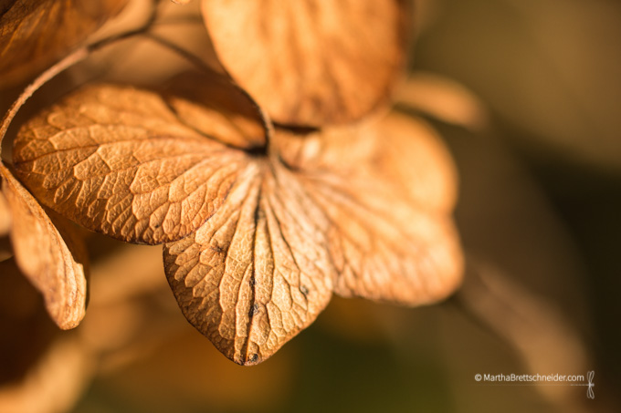 hydrangea sunlight kissed