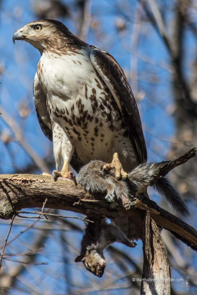 Hawk with squirrel