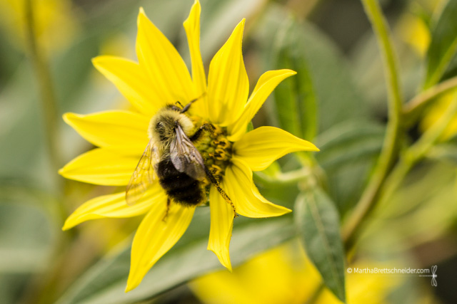 bee-on-helianthus