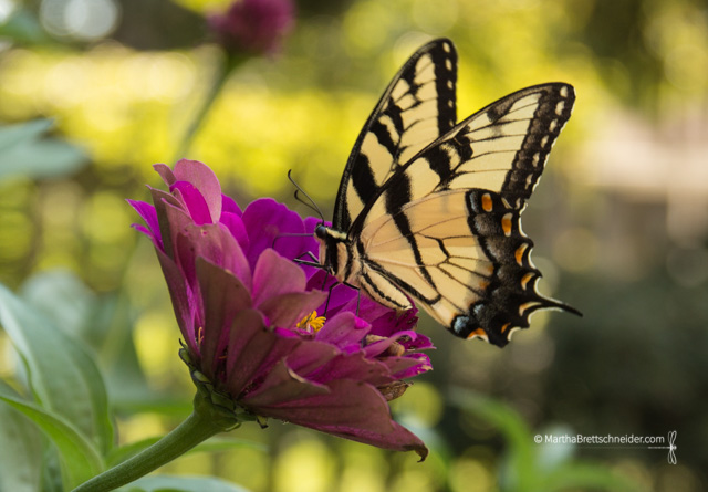 butterfly-on-zinnia