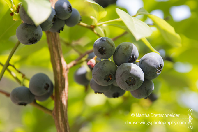 Blueberry Harvesting as a Mindfulness Activity