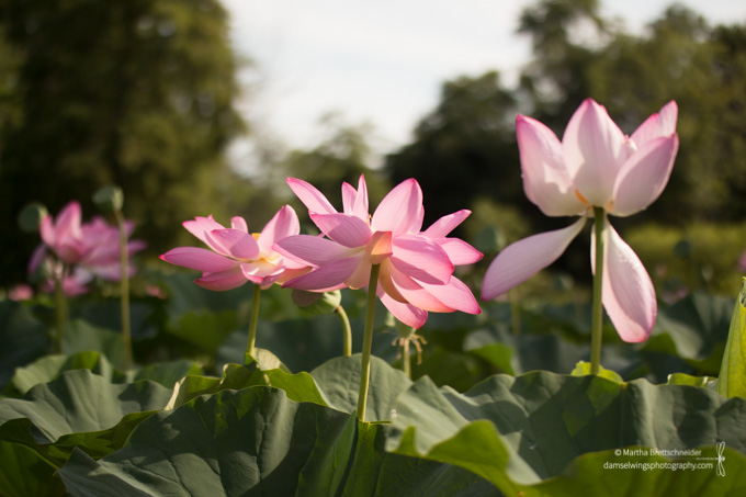 Lotus Blossom Photograph from Kenilworth Gardens