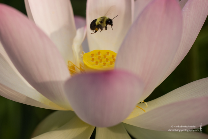Lotus Blossom Photograph with bee