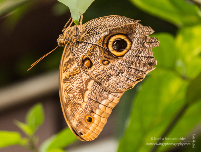 Butterfly Photograph Mournful Owl