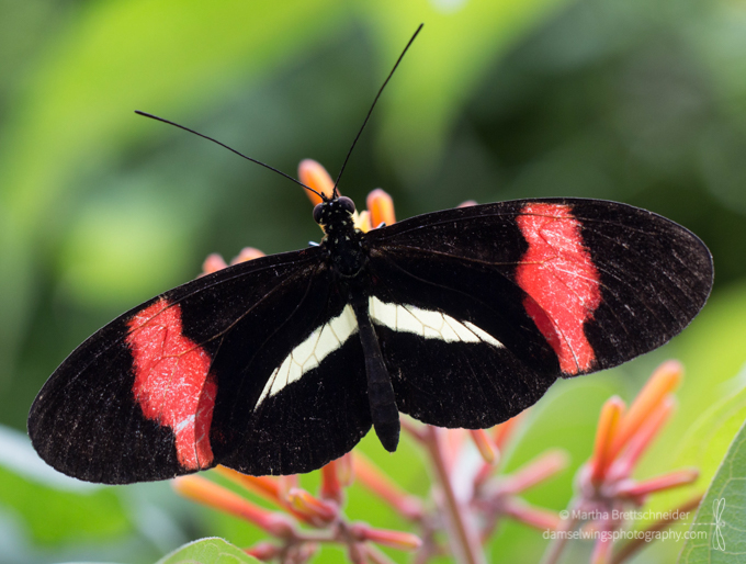 Butterfly Photograpy Postman