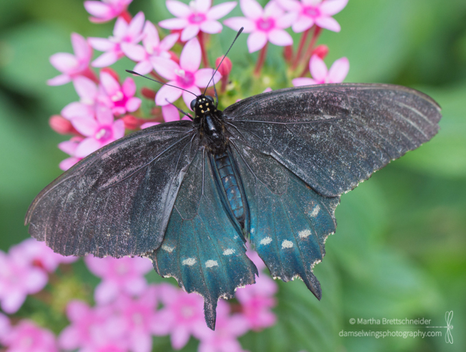 Butterfly Photograph Pipevine Swallowtail