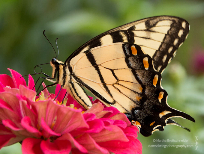Butterfly Photograph Tiger Swallowtail