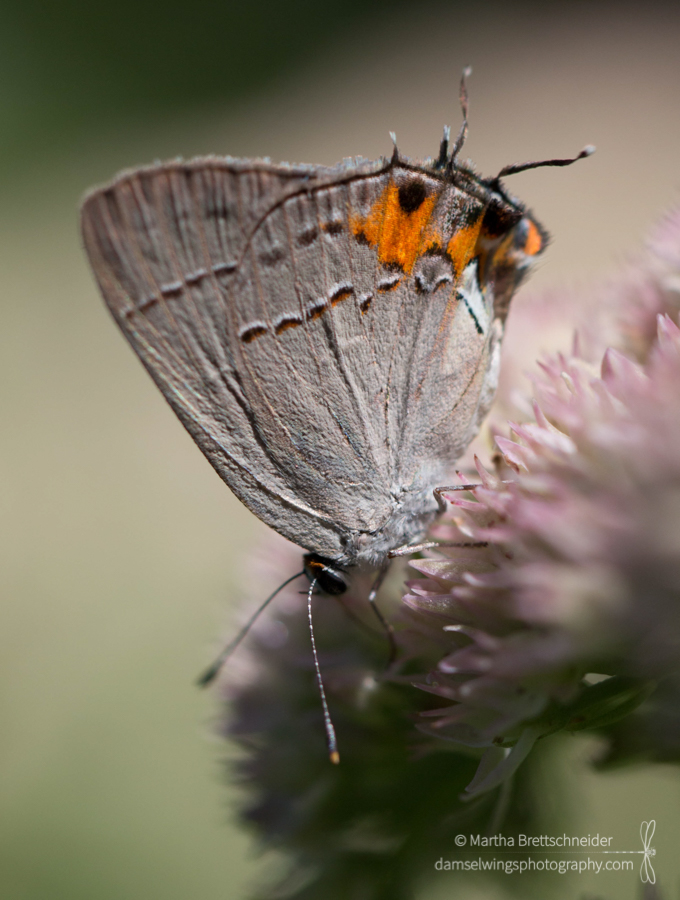 Butterfly Photograph Gray Hairstreak
