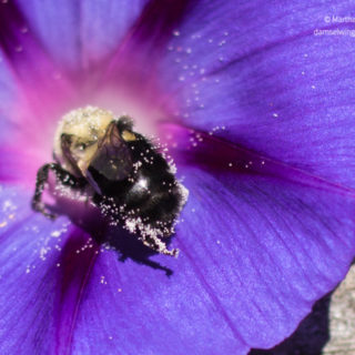 bee pollinating morning glory for itchy meditation blog