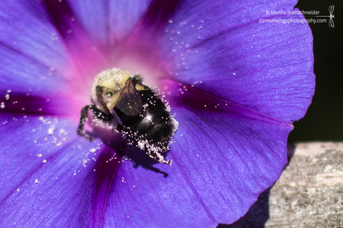 bee pollinating morning glory for meditation itch blog